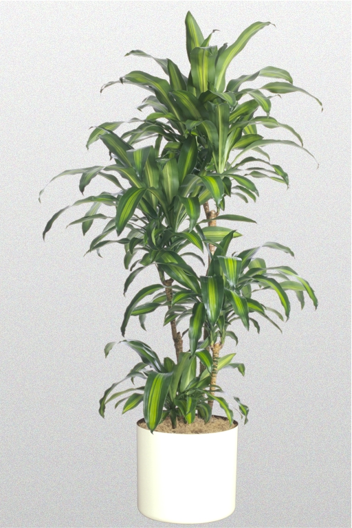 14 in dracaena fragrans 39 massangeana 39. Black Bedroom Furniture Sets. Home Design Ideas